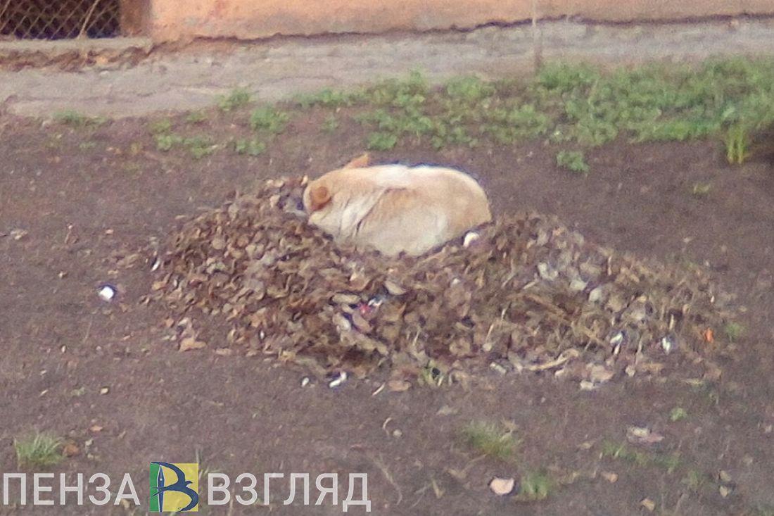 В самом центре Пензы бродячие собаки «свили гнезда»